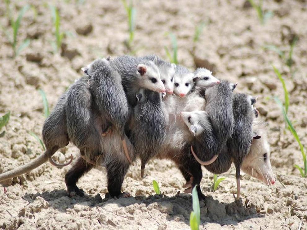 overworked-mom-possum-babysitter-wanted.
