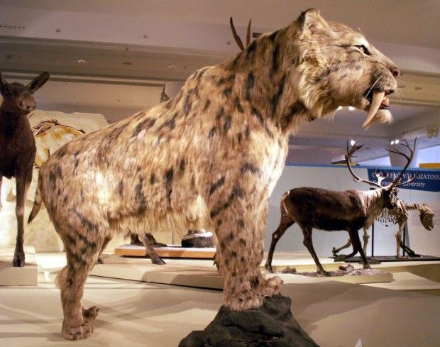 Smilodon-Saber-toothed-tiger-saber-toothed-cat