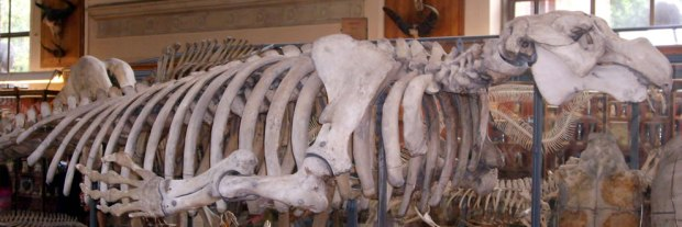 Stellers-sea-cow-hydrodamalis-gigas-skeleton-as-seen-at-the-National-Museum-of-Natural-History-Paris