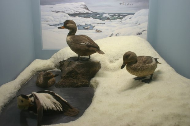 Stuffed-Labrador-Ducks-1878-extinct-North-American-bird