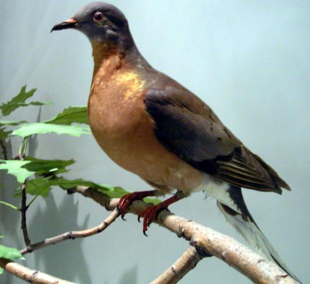 Stuffed-passenger-pigeon
