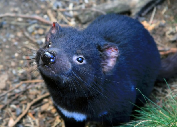 Tasmanian-Devil-at-Cradle-Mountain