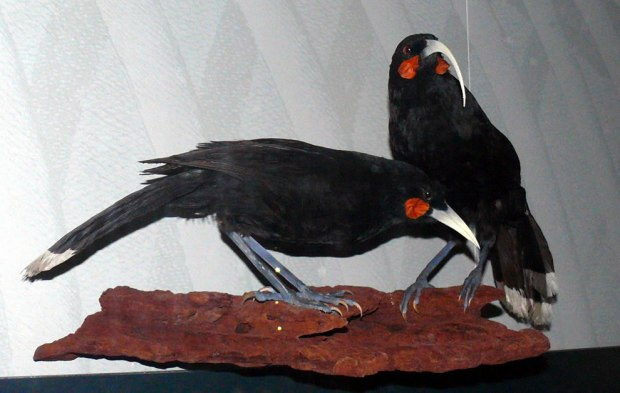 Taxidermy-exhibit-of-a-Huia-pair-at-Museum-für-Naturkunde-Germany-extinct-in-1907