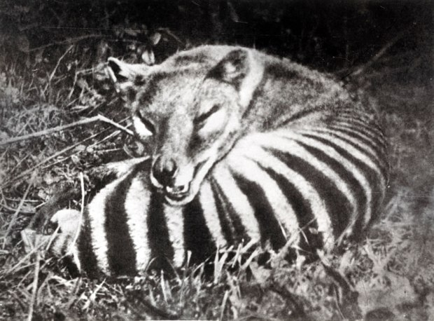 Thylacine-Tasmanian-tiger-also-called-Tasmanian-wolf-