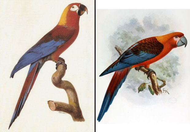 Tricolor-Cuban-Macaw-Cuban-Red-Macaw-extinct-in-late-19th-century