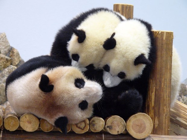 Twin-pandas-jumping-on-mom