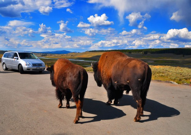 Two-against-one-bison-blocking-traffic-is-common-in-Yellowstone-and-is-called-Buffalo-Jams