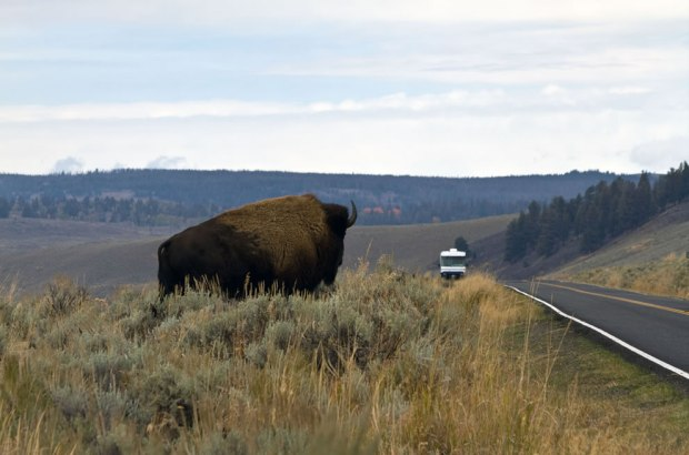 Why-did-the-bison-cross-the-road