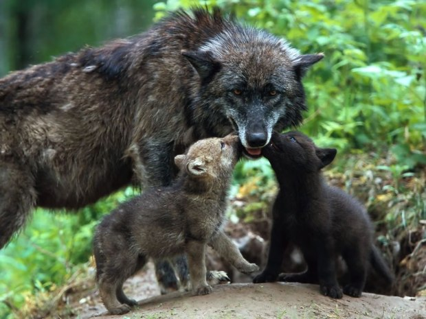 Wolf-cubs-kissing-mom