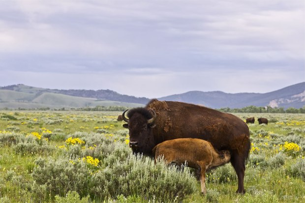 Yellowstone-bison-and-calf-2000-pounds-of-anger-when-calf-hesitated-to-cross-road-in-traffic