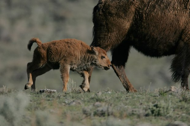 Yellowstone-Bison-calf-following-cow-Little-America-Flat