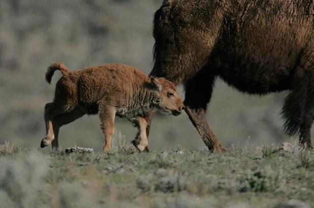 Yellowstone-Bison-calf-following-cow-Little-America-Flat
