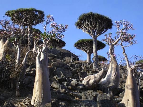 Yemen-Socotra-Island-trees-780520